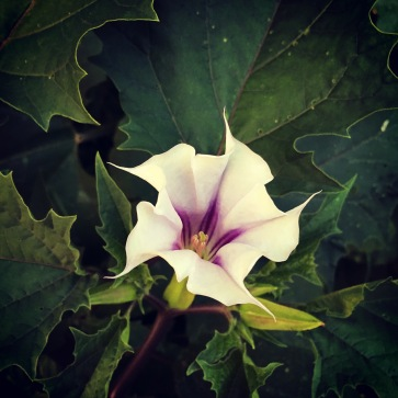 Datura flowers are so beautiful